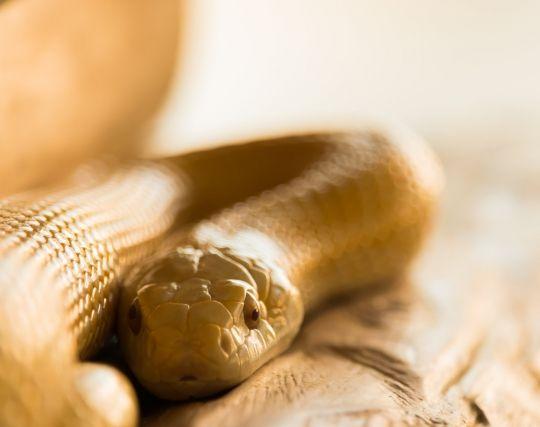 金色の蛇が現れる夢