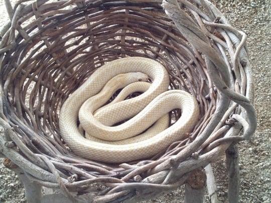 白蛇が現れる夢