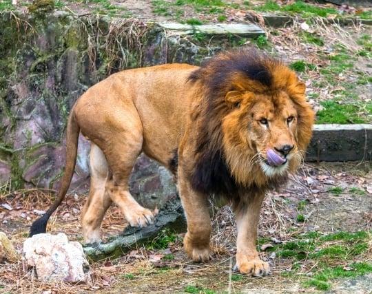 ライオンに<strong>襲われる</strong>夢