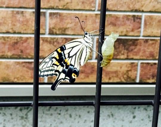 サナギが羽化して蝶になる夢