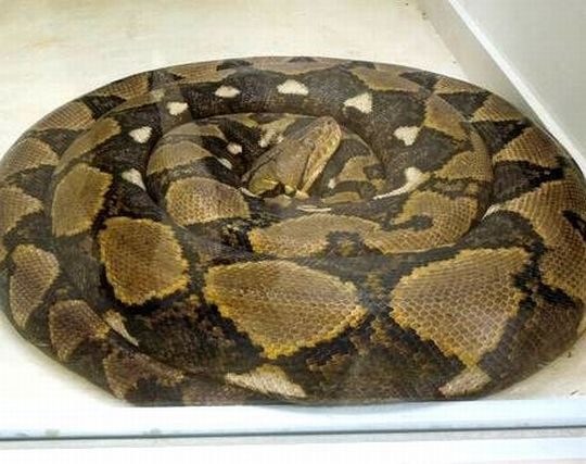 野<strong>毛</strong>山動物園のとぐろを巻いたニシキヘビ