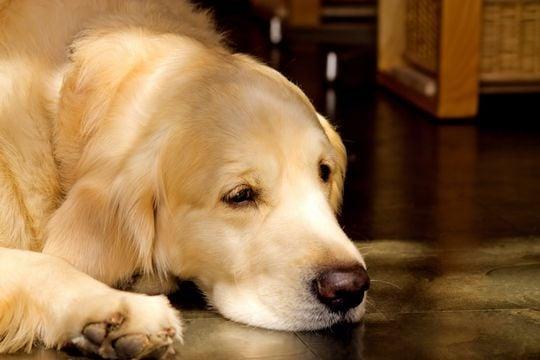 犬の夢:ゴールデンレトリバー