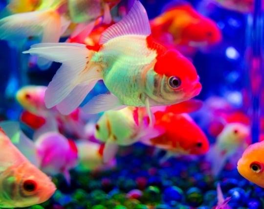 <strong>水槽</strong>で金魚を飼う夢