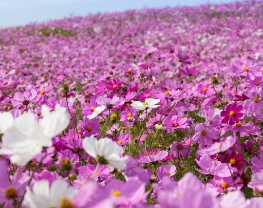 コスモスの花の夢