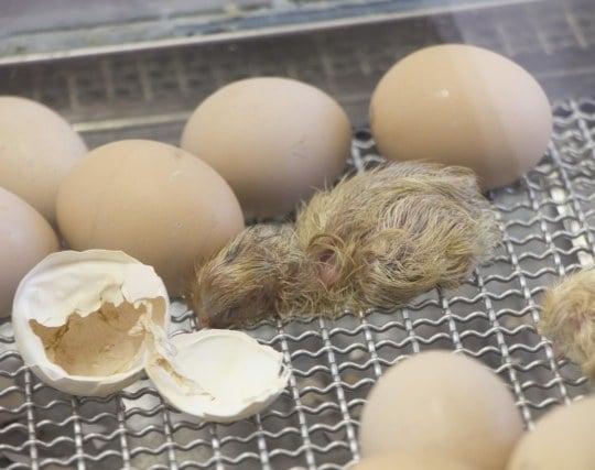 卵が<strong>孵化</strong>する夢