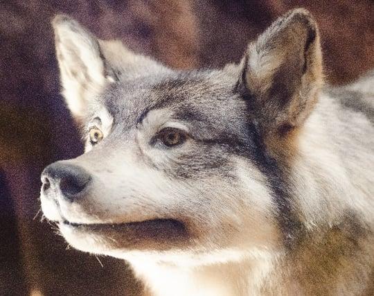 狼を殺す夢