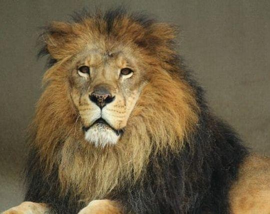 獰猛なライオンから逃げる夢
