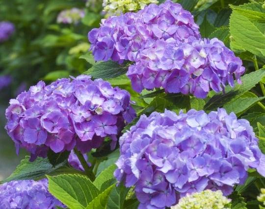 紫色の紫陽花の夢