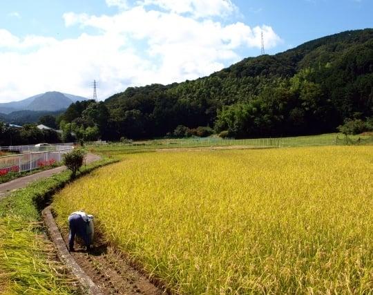 稲を刈り取る夢