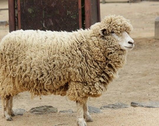 羊が逃げる夢