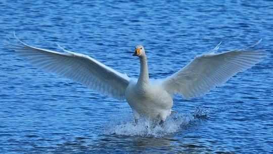 白鳥が颯爽と飛び立つ夢
