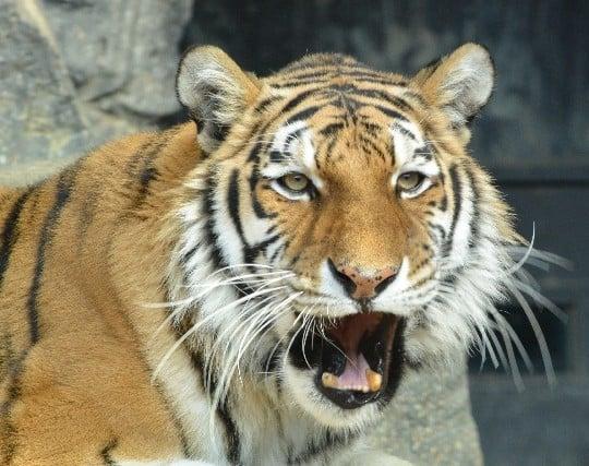 立派な虎が現れる夢