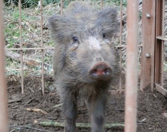 罠を仕掛けて猪を捕まえる夢