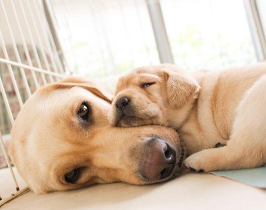 犬が出産する夢