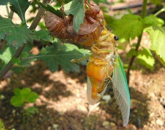 蝉の幼虫が羽化する夢