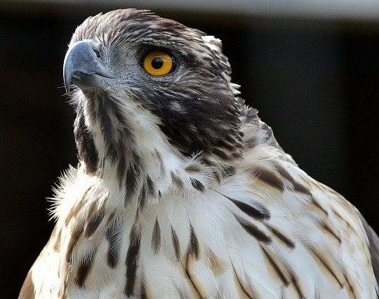 鷹の目が印象的な夢