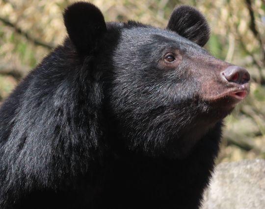 熊にキスする夢