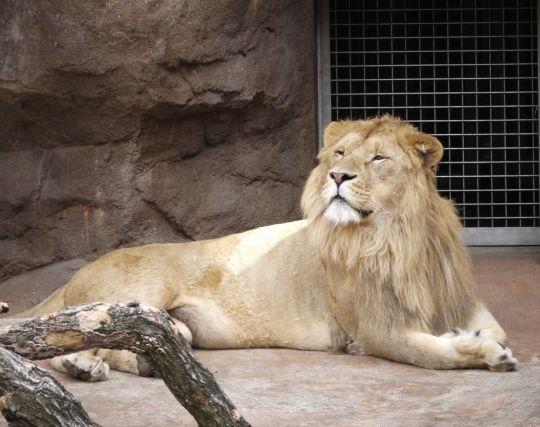 ライオンを飼い慣らす夢