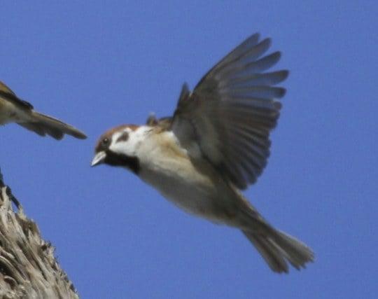 大空を自由に<strong>飛ぶ</strong>雀の夢