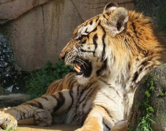 虎が怖い夢