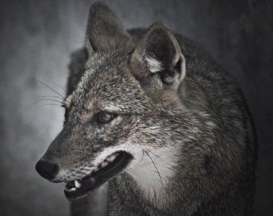 怖い狼が現れる夢