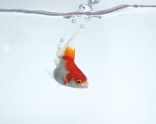 美しい金魚を見る夢