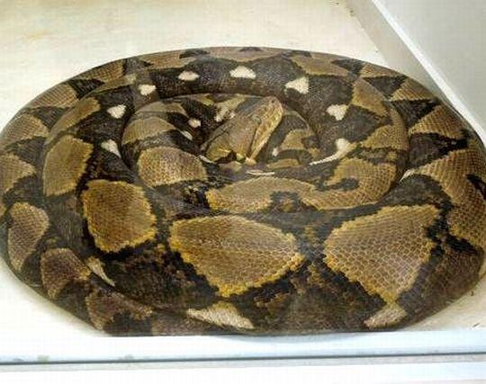 野毛山動物園のとぐろを巻いたニシキヘビ