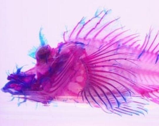 魚の骨が印象的な夢・透明な魚の夢