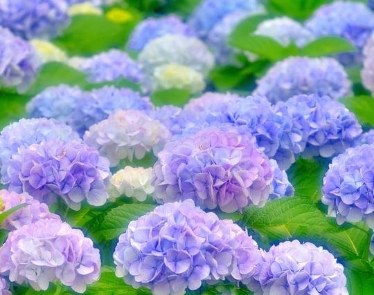 紫陽花の夢