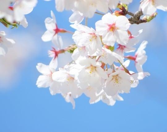 桜の花の夢