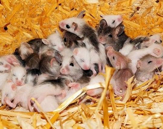 ネズミの赤ちゃん