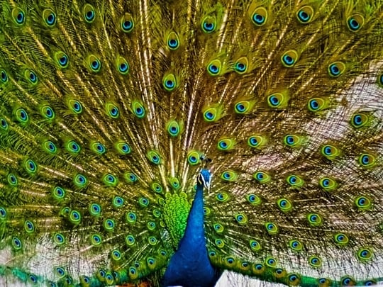 孔雀が羽根を広げる夢