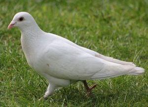 白い鳩の夢