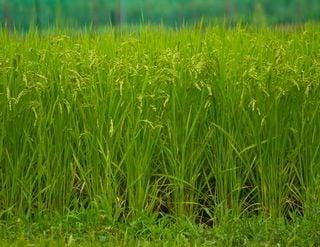 稲が実る夢