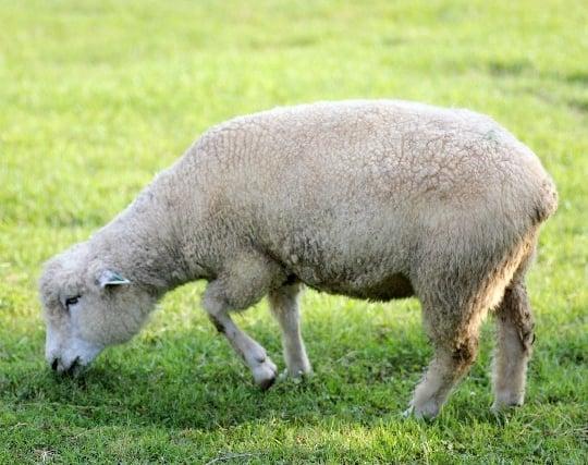 逃げた羊を探す夢