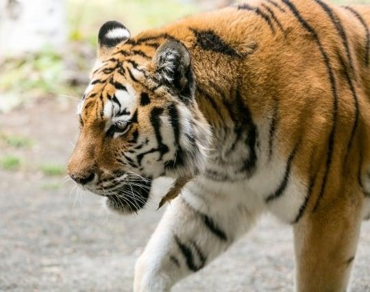 虎が現れて怖い夢