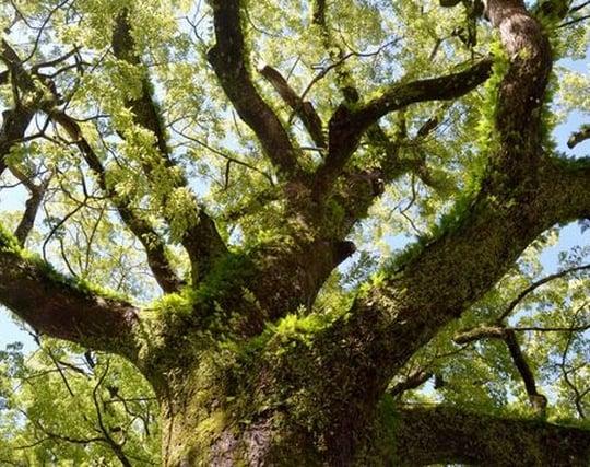 どっしりした大木の夢