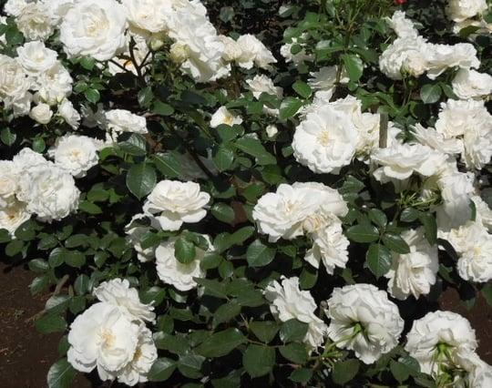 白いバラの夢