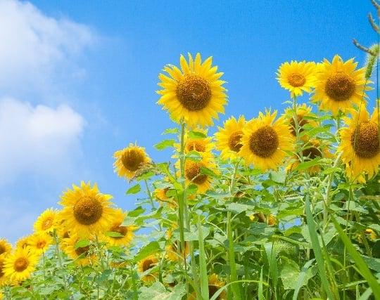 青い空と<strong>黄</strong>色い向日葵の夢