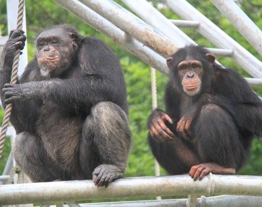 チンパンジーの夢