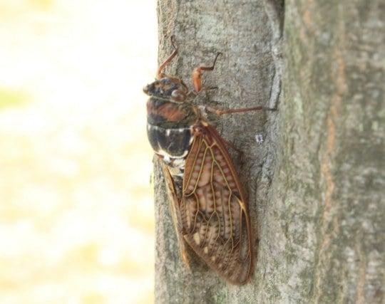 蝉が樹液を吸う夢