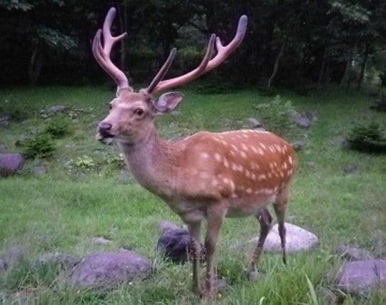 美しい鹿が現れる夢