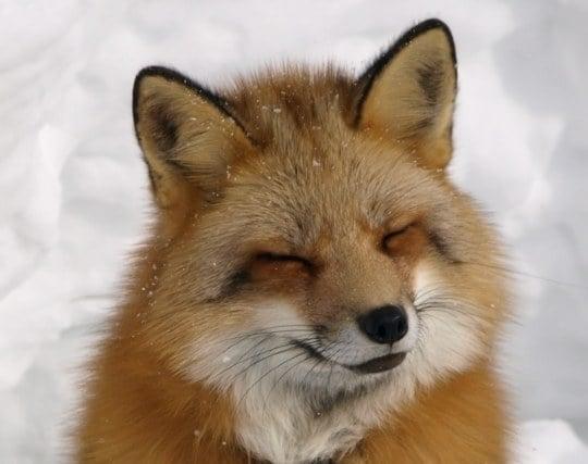 狐が現れる夢