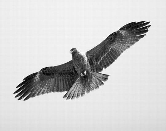 大空を自由に力強く<strong>羽</strong>ばたく鷲の夢