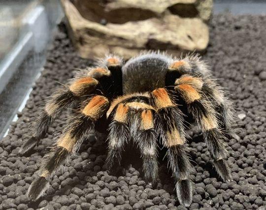 蜘蛛を飼う夢