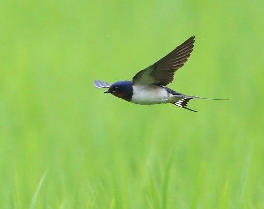 燕が飛んで来る夢