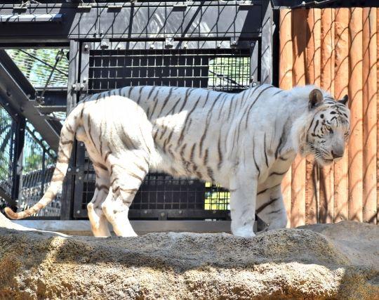 ホワイトタイガーが現れる夢