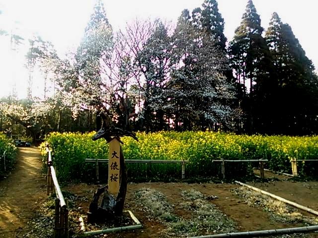 大俵桜2015.3.30