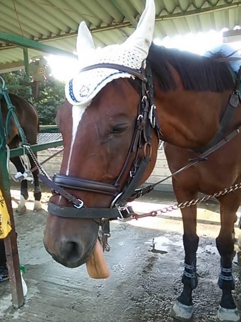 ハミを嵌めると舌を出す馬